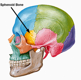 portland chiropractor | the sphenoid and learning disorders, Human Body